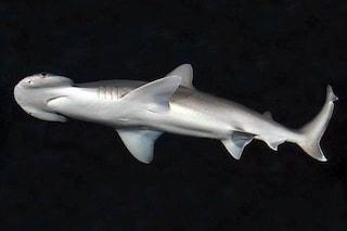 C'è uno squalo onnivoro ghiotto di alghe e piante nell'oceano: chi è lo Sphyrna tiburo