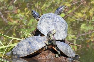 La scomparsa delle tartarughe è un nostro problema: senza di loro cambierà il futuro