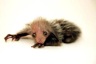È nata Tonks, uno splendido esemplare di aye-aye, un primate a rischio estinzione