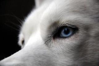 Svelato il segreto degli occhi blu dei cani Husky