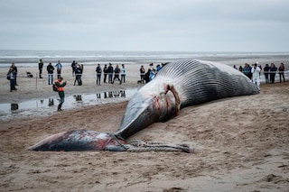 Balenottera in via d'estinzione di 18 metri spiaggiata in Belgio: non accadeva da 21 anni