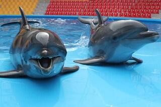 Cetacei in cattività, Senato canadese approva legge per il divieto: verso stop alla prigionia