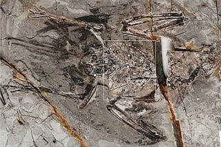 """Straordinario fossile di uccello preistorico emerge da una cava: scienziati """"vedono"""" i polmoni"""
