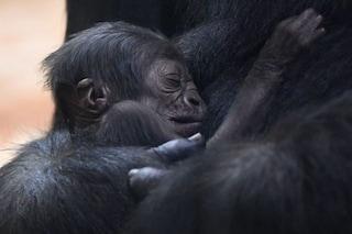 I maschi di gorilla che trascorrono più tempo coi piccoli si accoppiano di più