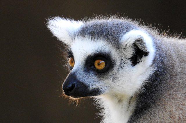 Un lemure catta. Credit: Andrea Centini