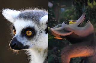 Il 55% dei primati rischia di estinguersi: minacciato il lemure catta, la specie di Re Julien