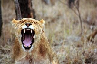 La leonessa Zuri ha attaccato alla gola e ucciso il leone Nyack, padre dei suoi tre cuccioli