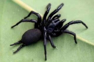 Macrothele calpeiana, il ragno più grosso d'Europa è in Italia: dimensioni e rischi per l'uomo