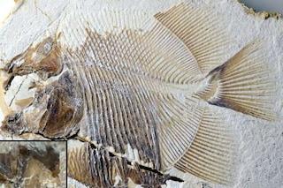 Scoperto temibile pesce mangia-carne del Giurassico: chi era il Piranhamesodon pinnatomus