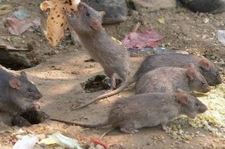 Nelle lacrime dei cuccioli di topo l'arma segreta per bloccare le infestazioni