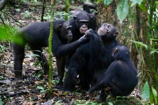 Gli scimpanzé adorano condividere il cibo prelibato con gli amici