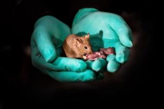 Nati i primi topi da genitori dello stesso sesso: creati con editing genetico e staminali
