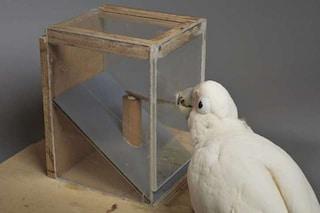 Questi pappagalli 'ingegneri' sanno tagliare il cartone in strisce per raggiungere il cibo