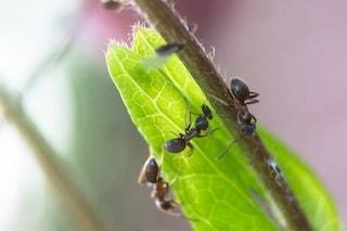 Le formiche sono le 'schiave' delle piante: ecco come lo sono diventate