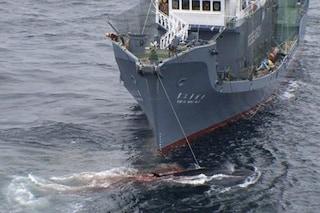 Navi giapponesi salpano verso l'Oceano Antartico: vogliono uccidere più di 300 balene