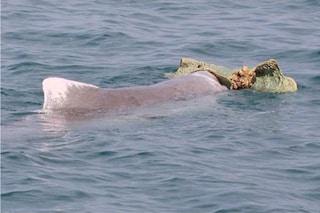 I delfini maschi fanno regali alle femmine per provare a conquistarle