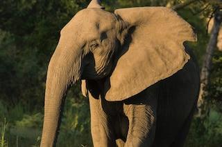 Gli elefanti stanno perdendo le zanne a causa dei bracconieri: ipotesi choc degli zoologi