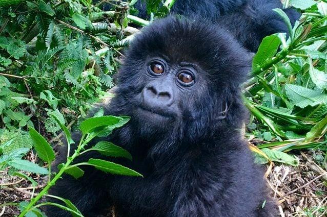 Un giovane gorilla. Credit: Erika Bindocci