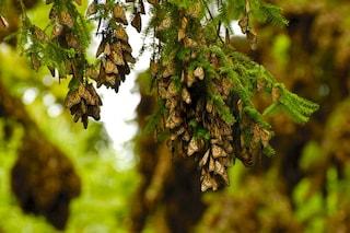 Strage di farfalle monarca a causa nostra: crollate dell'80% dal 2005