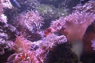 Nemo sa come non farsi uccidere dall'anemone: svelato il segreto del pesce pagliaccio