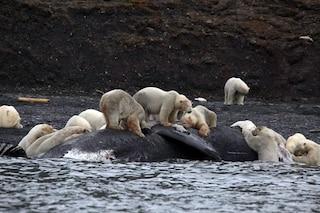 Scoperta popolazione di 3mila orsi polari in buona salute: ottime notizie dall'Artico