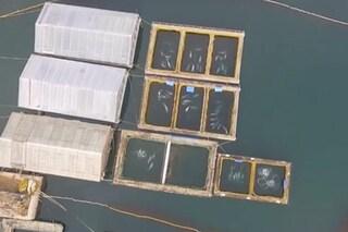 Scoperta prigione per cetacei in Russia, cento esemplari rinchiusi: le immagini strazianti