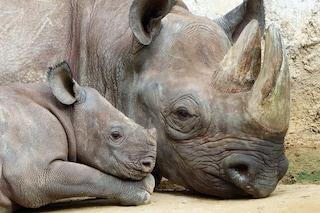 La Cina ci ripensa: resta illegale il commercio di parti di tigre e rinoceronte