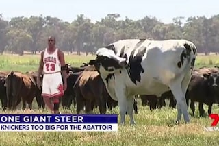 Knickers, il manzo alto quanto Michael Jordan, è salvo dal macello: troppo grosso