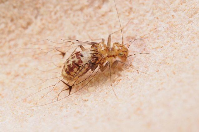 la zanzara ha un pene)