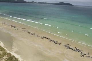 Strage di cetacei in Nuova Zelanda, morte 145 balene pilota: molte soppresse con l'eutanasia