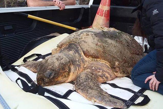 Una tartaruga liuto stordita dal freddo, ma ancora viva. Credit: Mass Audubon Wellfleet Bay Wildlife Sanctuary