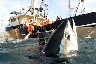 Squali e tonni sempre più a rischio: il WWF tuona contro accordo per la pesca