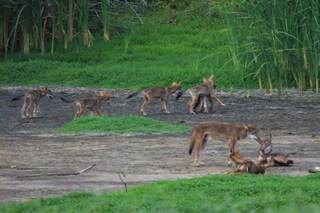 Questi misteriosi canidi in Texas nascondono il gene 'fantasma' del lupo rosso estinto