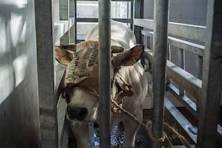 Animali sgozzati ancora coscienti, lasciati agonizzare: cosa succede nei macelli italiani