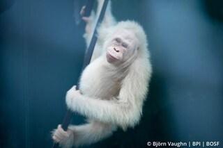 Alba, l'unico esemplare di orango albino conosciuto, è tornata libera: le splendide immagini