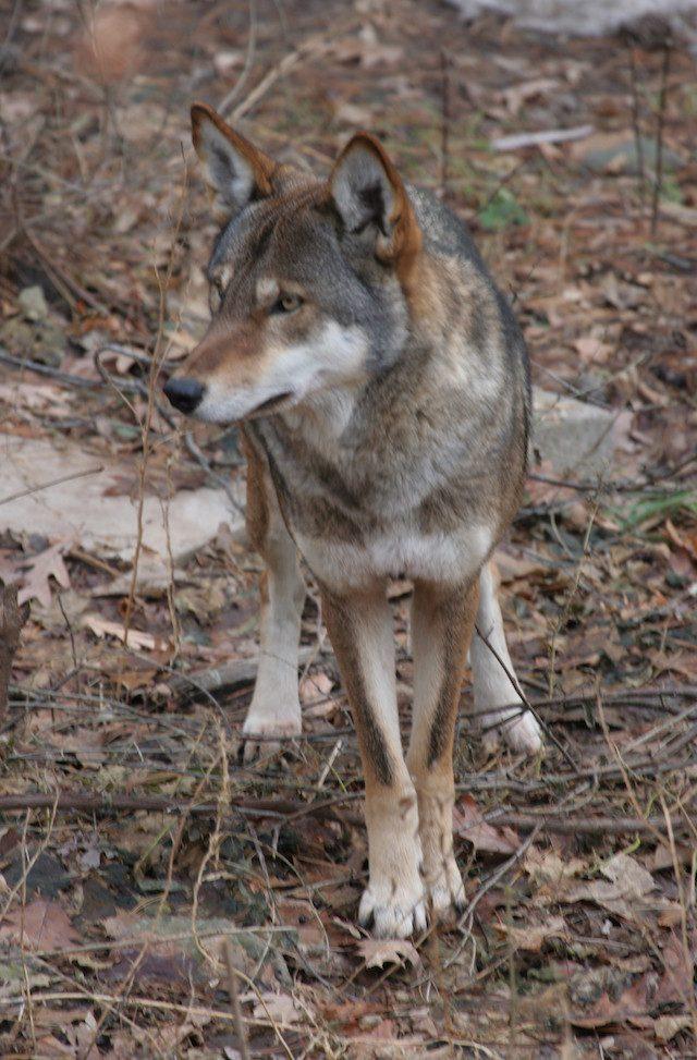 Il lupo rosso