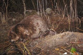 Il castoro è tornato in Italia: avvistamento eccezionale a 450 anni dall'estinzione locale