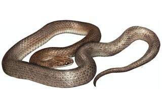 Cenaspis aenigma, la nuova specie di serpente scoperta nello stomaco di un altro serpente