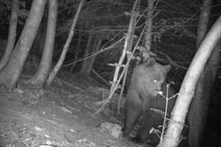 L'orso Elisio è morto: ucciso a fucilate da un cacciatore sloveno