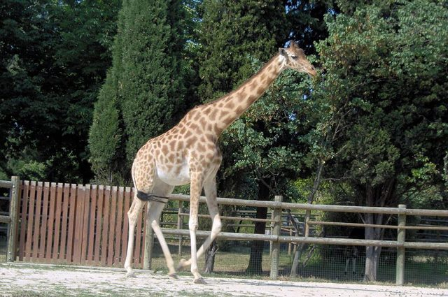 Giraffa del Kordofan. Credit: Mathae