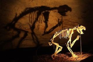 Un enorme leone marsupiale terrorizzava l'Australia: chi era il Thylacoleo carnifex