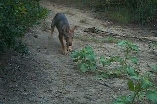 Nati sei cuccioli di lupo alla periferia di Roma: le meravigliose immagini dei piccoli