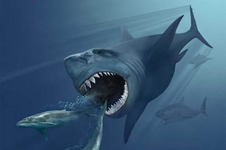 Il megalodonte forse estinto a causa dello squalo bianco: ecco perché