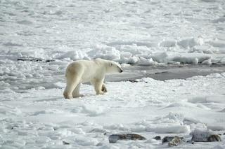 Artico, 2018 drammatico: perdita record di ghiaccio, temperature roventi e moria di renne