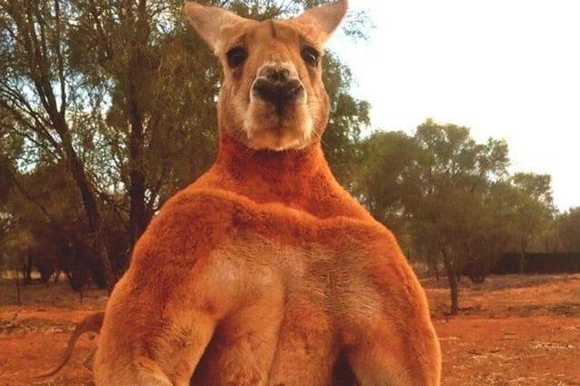 """Credit: Kangaroo Sanctuary Alice Springs/Chris """"Brolga"""" Barns"""