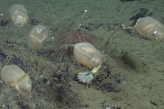 Un palloncino trasparente attaccato al fondale, scoperta nuova creatura: è il Culeolus Barryi