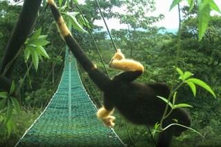 Scimmie del Costa Rica da nere a gialle a causa dei pesticidi: zoologi lanciano l'allarme