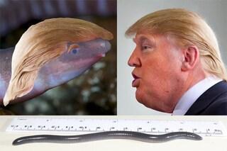 Questo anfibio simile a un verme è stato chiamato come Donald Trump: il motivo vi sorprenderà