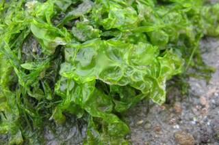 Creata rivoluzionaria plastica ecologica con batteri e alghe: addio inquinamento marino?