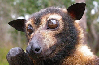 Strage di volpi volanti in Australia, morte in 4mila in una settimana: è solo colpa nostra